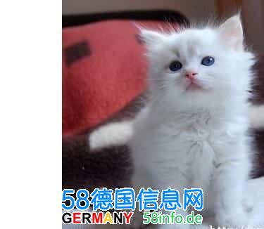 求购一只布偶猫